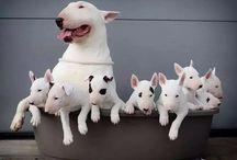 Bullís!! / Bull Terrier