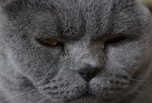 Joufflu / Des photos de Joufflu, British Shorthair