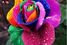 100 Rare Rainbow Rose Flower Seeds Multi-Color Rose