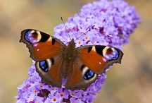 Butterfly Bush (Buddleia) / And old fashioned garden plant that is best known for its ability to attract butterflies.  Colorful flowers on a somewhat gangly, fast growing plant.