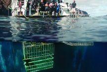 """VIAGGI INDIMENTICABILI CON ALBATROS TOP BOAT: """"SOCORRO-MESSICO-ALASKA"""" / Albatros top Boat propone crociere uniche al mondo ricche di incontri spettacolari in collaborazione con Nautilus Explorer, organizzazione con un'esperienza di oltre 23 anni per  avventure subacquee esclusive in Alaska, British Columbia e il Messico.  Si puo' godere l' """"avventura"""" in ogni senso della parola.  E'possibile immergersi con Squali bianchi o gli mante giganti, delfini e fino a 10 diversi tipi di squali."""