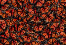 Butterflies  / by Dianna Banning