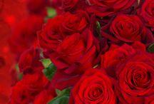 Bir Tutkudur Kırmızı-Red /  aşk'ta kırmızıdır , aşkta , kan kırmızı , kırmızı , kırmızı ayakkabılar , kırmızı aşkı , kırmızı çantalar , kırmızı çiçekler , kırmızı dünya , kırmızı elbiseler , kırmızı kalp , kırmızı resimler , kırmızı sevgisi , kırmızı tutkusu , kırmızı şekiller , kırmızıdır , kırmızılar , kırmızılı resimler , kırmızının büyüsü , kırmızıyı sevmek , tutkudur , tutkudur aslında kırmızı