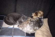 Cuties / Yorkshire terrier and british blue cat