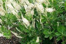 Zimterle Pflanze bringt Vanilleduft in Gartrn