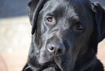 Lovely Labradors / Doesn't the whole world love a Labrador? They never stop smiling and their tails never stop wagging!