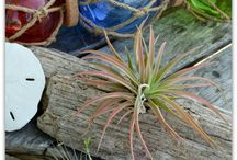 air plants /tillandsia / bromeliads
