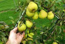 Quand cueillir les poires ? / C'est au cours de la maturation que s'élabore la qualité organoleptique des fruits (accumulation de sucres et d'acides, production d'arômes, modifications de la texture….). Cependant, la période pendant laquelle le produit garde une qualité optimum est éphémère. C'est la raison pour laquelle il est essentiel de maîtriser le processus de maturation afin de connaître le moment idéal pour la récolte.