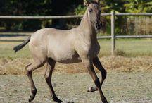 Le Mustang Espagnol / Directement issu de chevaux espagnols et Barbes, le Mustang Espagnol, qui a été forgé par la sélection naturelle, correspond au type le plus ancien du Mustang. Malgré leur état sauvage, de nombreux Mustang Espagnol sont capturés pour être apprivoisés et utilisés de manière traditionnelle.
