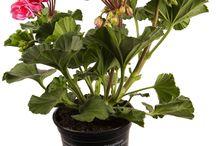 Peter van Os/ Pelargonium Zonale / Pelargonium Zonale Staande Geraniums