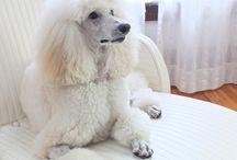 Lovely poodles