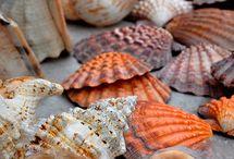 Sea Shels