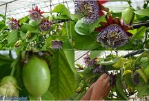 Tropikal Bitkiler ( Tropical Plants )