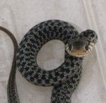 Snake Removal Service in Apopka / Critter & Pest Defense experts specialize in Snake Removal as well as Wildlife Pest Control which includes armadillo removal, bat removal, opossum removal, raccoon removal, rat removal, bee removal, squirrel removal etc.