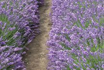 Nature / NZLavender Pure Essential Oil