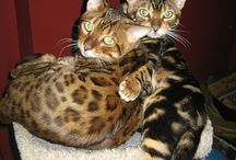 Beautiful Bengal Cats