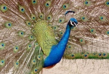 Proud Peacocks / The Peacock, which is a symbol of grace, joy, beauty and love is the national bird of India. Peacock occupies a respectable position in Indian culture and is protected not only by religious sentiments but also by parliamentary statute. The Indian peacock is a colorful, swan-sized bird with a fan-shaped crest of feathers on its head, a white patch under the eye and a long-slender neck.