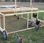 Chickens & Guineas