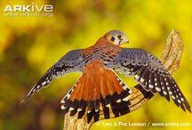 0001 Poštolka vrabčí/Falco sparverius/American Kestrel