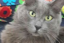 My nebelung cat Duman(SMOKE)