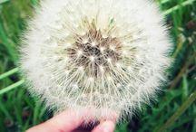 민들레울 / 민들레 꽃 사진 모음방