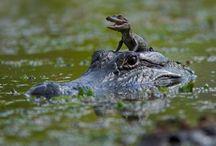 crocodiles - Alligators / animaux