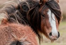 sheltand ponies