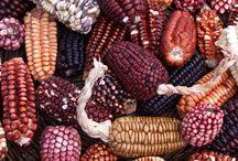Brazil colored corn