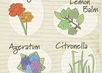 Herbs that Repel Mosquitos