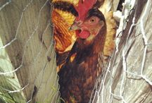 Backyard Chickens: Galliforme Friends & Poultry Pals! Ontario, Canada / Backyard chicken adventures, and related DIYs, info, and ideas.