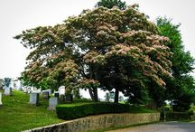 Other Evergreen Trees