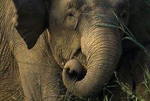 Elephants / I love elephants / by angelcords