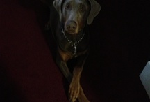 Doberman pinscher red & rust