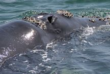 Whales  on the Cape Whale Coast / Southern Right Whales migrate from the cold Antarctic waters to the warmer Southern African waters to mate and give calf.  Humpback Whales are en route to the warmer waters of Mozambique.  Bryde's Whales are resident  whales   along the coastline.