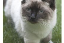 Ragdoll / featuring articles about Ragdoll breed information, cat selection, training, grooming and care for cats and kittens.