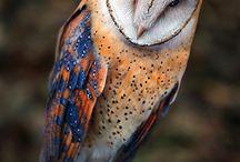Birds / Owls kalinri