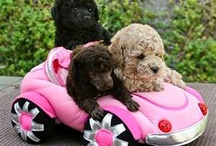 Pretty Little Poodles<3