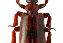 insectum