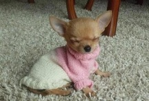 I'M OBSESSED WITH CHIHUAHUAS / I have 2 and if I didn't live in a condo - would have a bunch!