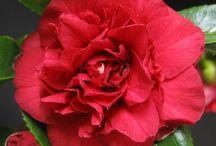 Camellia's