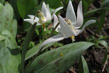 Ephemerals / Forest floor flowers