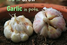 Grow garlic / Idea