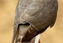 ragadozó madár