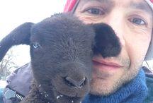 Pecore Jura / Allevamento percore Jura