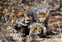 Animals you can adopt at AfriCat / Help support conservation of Namibia's large carnivores by adopting one of our resident cheetahs, leopards, lions and wild dogs in the Okonjima Nature Reserve or help support our cats in the AfriCat Carnivore Care Centre