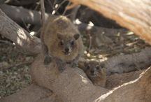 Hyraxes (Ein Gedi, Israel) / I was in Ein Gedi in Israel and I saw there a cute hyrax family. Here they are!