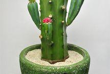 サボテン・多肉植物・塊根植物