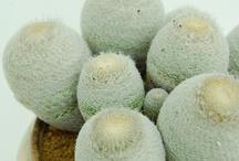Cactaceae / nopalitos...