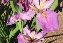 Irises / Information and photos about irises