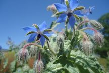 Borage Plant (Borago officinalis)